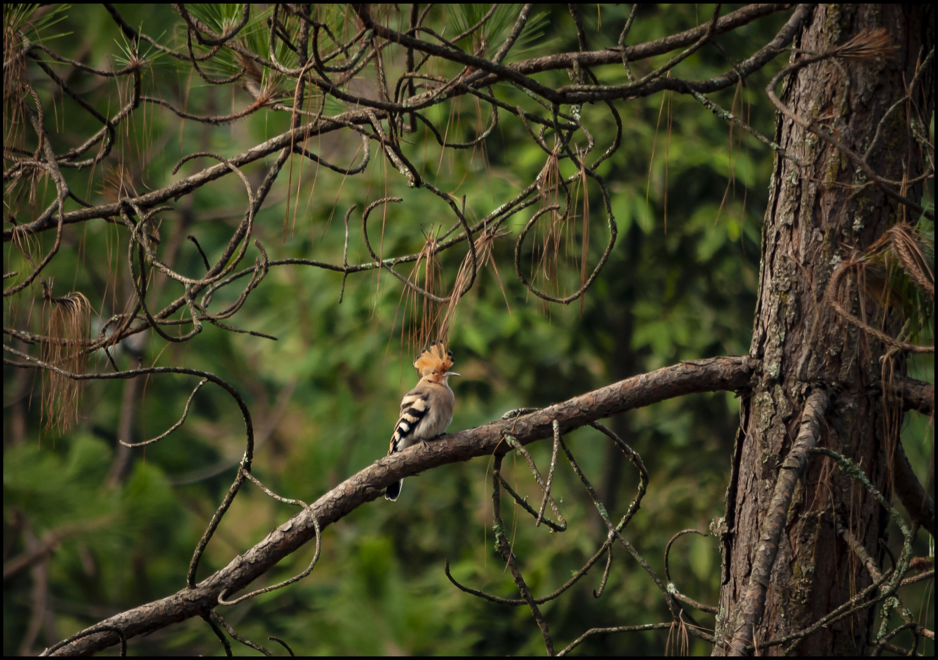 Common Hoopoe, the avifauna of Kumaun Himalayas, Ranikhet, Uttarakhand, India