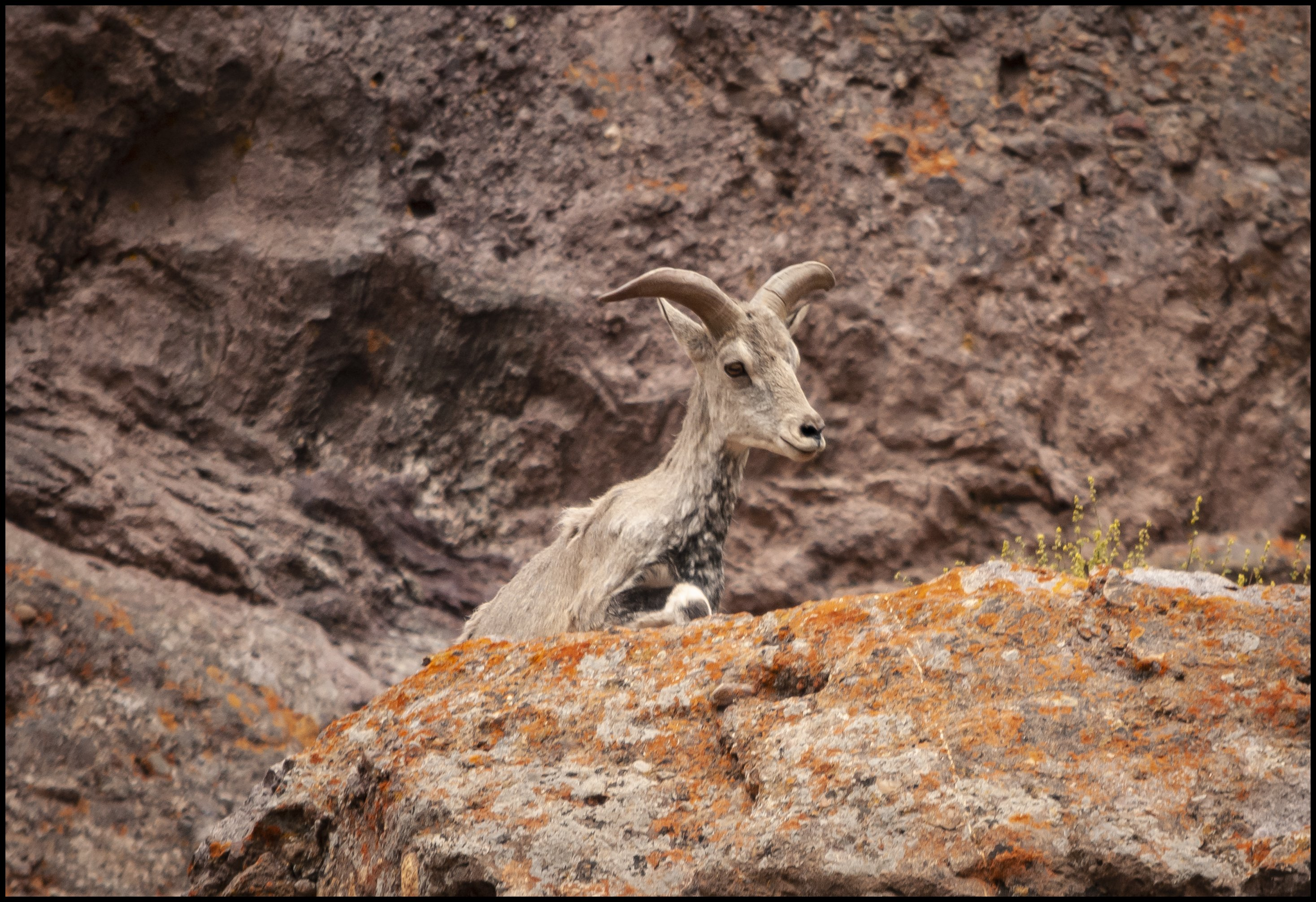 Himalayan Blue Sheep, Ladakh, J&K, India